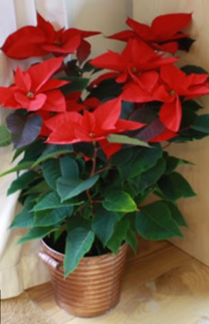 Large poinsettia plant pictures.JPG