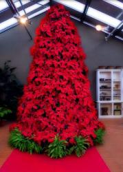 Large red poinsettias flowers.JPG