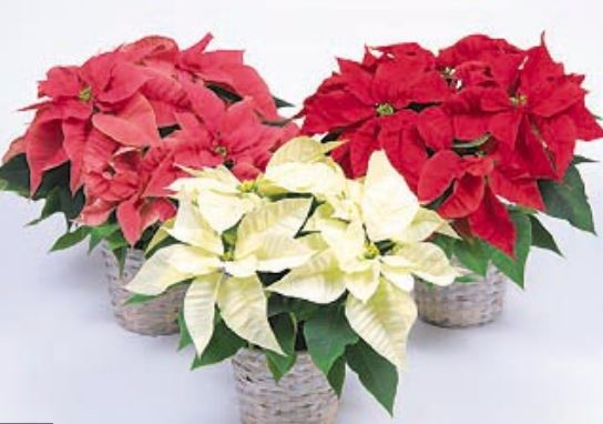 Poinsettia Flowers In Diffe Colors Jpg