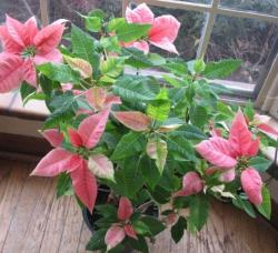Marble poinsettias flowers pictures.JPG