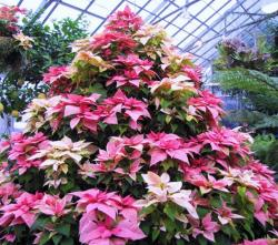 Pink flowers Christmas tree with pink poinsettias, hot pink poinsettias and marble poinsettias.JPG