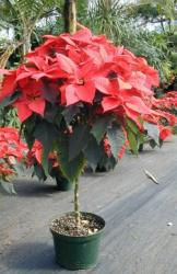 Red Poinsettia plant pictures.JPG