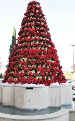 Red poinsettias flowers Christmas tree photos.JPG