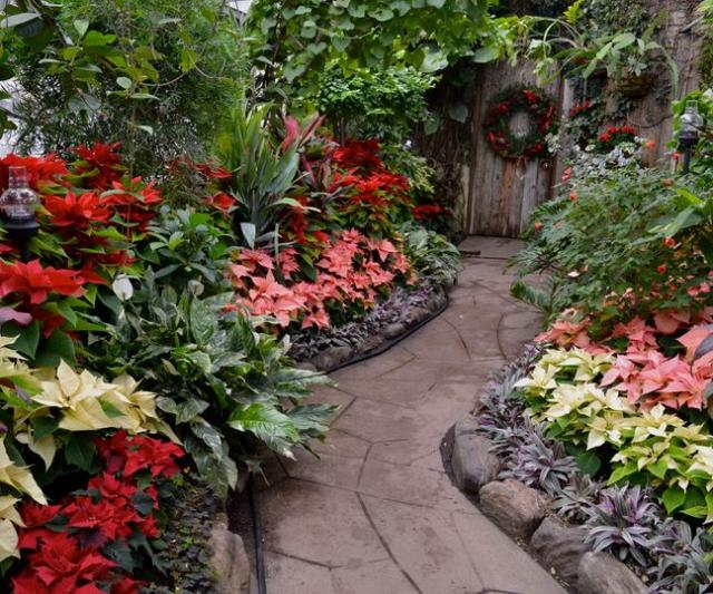 Christmas garden with full of poinsettias in white , pink and red.JPG
