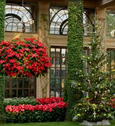 Christmas garden with full red and marble poinsettias.JPG