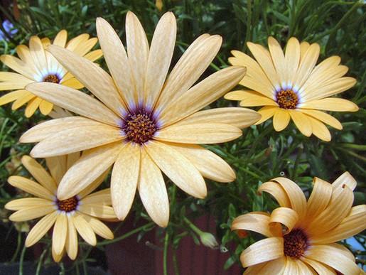 Daisy Flowers In Light Orange Jpg