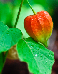 Orange green Chinese Lantern Flower.PNG