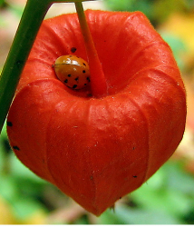 Chinese Lantern Flowers Pictures