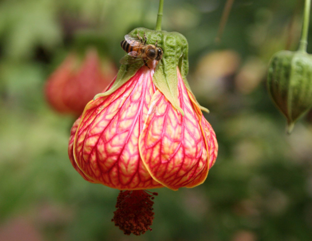 chinese lantern flowers pictures  photos, Beautiful flower