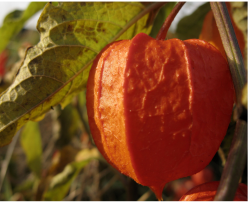 Chinese Lantern Flowers photo.PNG