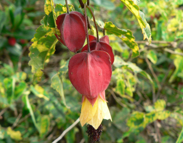 Chinese Lantern Flowers tree picture.PNG Hi-Res 720p HD