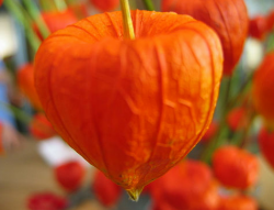 Chinese Lantern photo.PNG