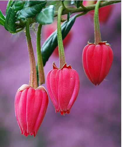 Chinese Lantern Tree in bright pink.PNG