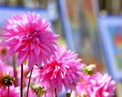 Pink Dahlia Flowers Garden with Paintings on Easels in the Background.JPG
