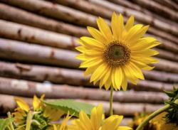 Beautiful Bright Yellow Sunflower in Front of Wooden Log Cabin.JPG