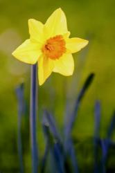 Yellow Daffodil with Orange Center and Blurred Background.JPG