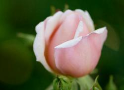 Light Pink Rose Close-up Photo with Blurred Background.JPG