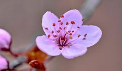 Pink Cherry Blossom Flower Close-Up Blurred Background.JPG