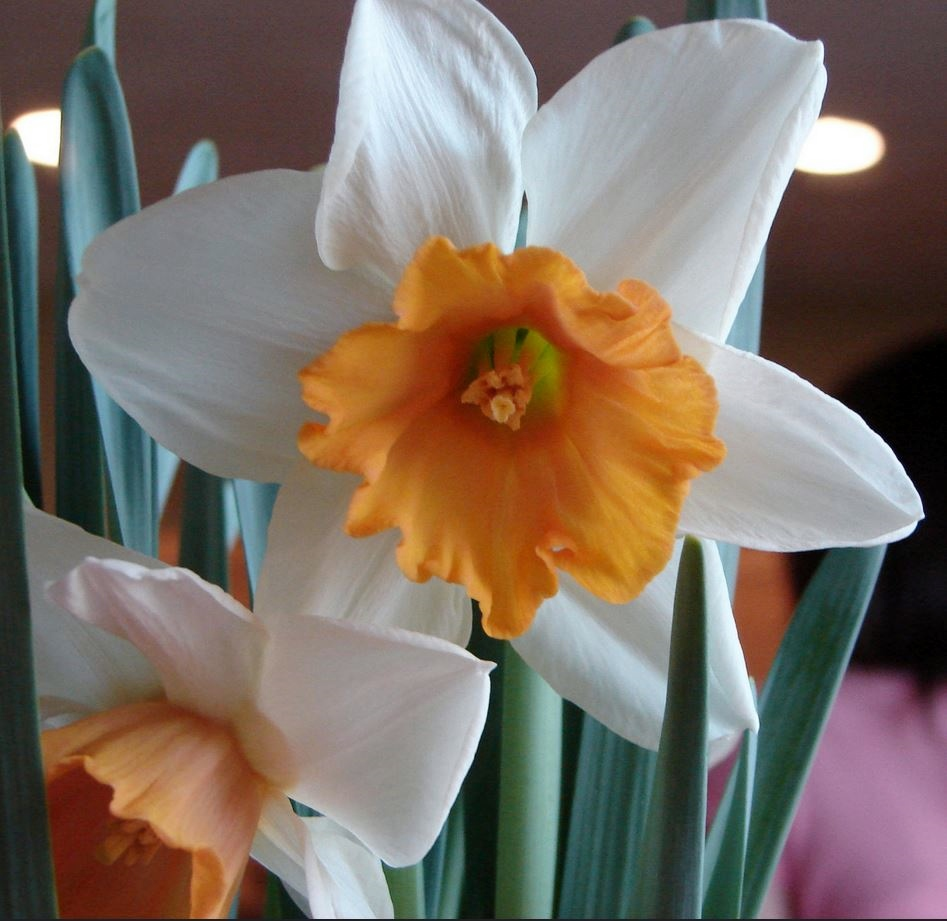 White Daffodils with Orange Center.JPG