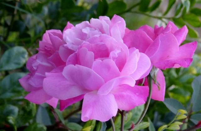 Light Pink Flower with Many Petals Likely a Camellia.JPG