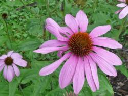Pink Daisy-like Flower with Black Center with Orange Spikes.JPG