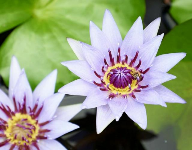 Light Pink Lotus with Purple and Yellow Center.JPG