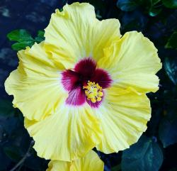 Yellow Hibiscus with Red Center.JPG