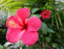 Red Hibiscus Flowers of South Eastern Asia.JPG