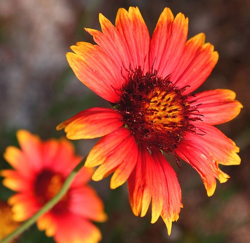 Color Daisies: Daisy Flower With Two Colors.jpg