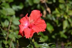 Red Hibiscus Flower of San Diego California
