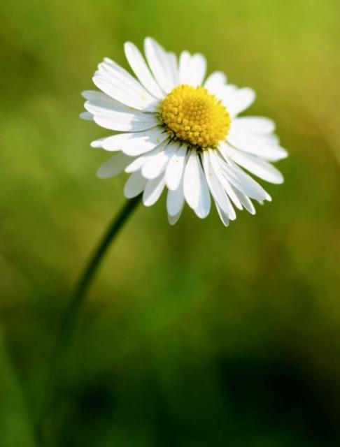 White Daisy Flower with Yellow Center with Blurred Out Background.JPG