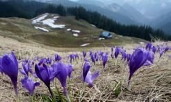 Purple Crocus Flowers Field in Mountainous Landscape.JPG