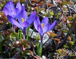 Purple Crocus Flowers Trio with Yellow Center.JPG