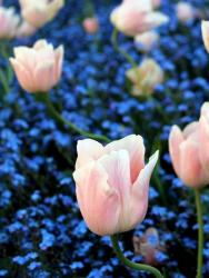Light Pink Tulips Amongst Field of Blue Flowers.JPG