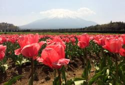 Field of Red Tulips with Snow-Capped Mountain in the Background in Japan.JPG