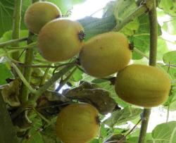 Kiwi Fruits Tree Pictures