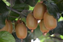 Beautiful brown fruits on kiwi tree