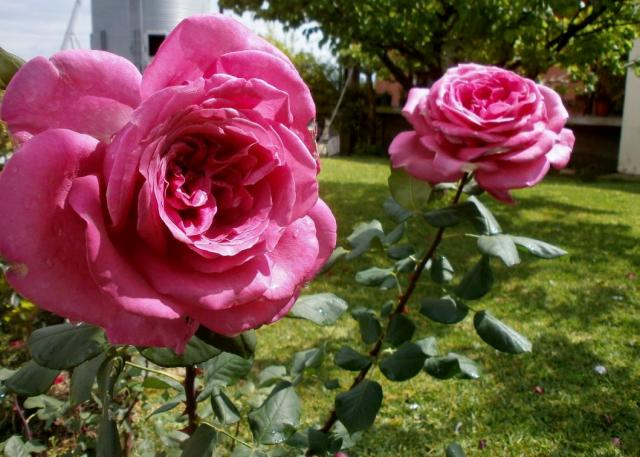 Pair of Large Pink Long Stem Roses Growing in Garden.JPG