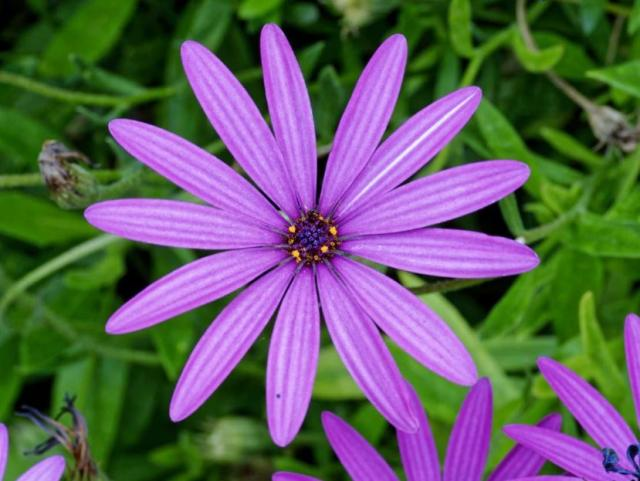 Pink Daisy Flower with 13 Petals.JPG