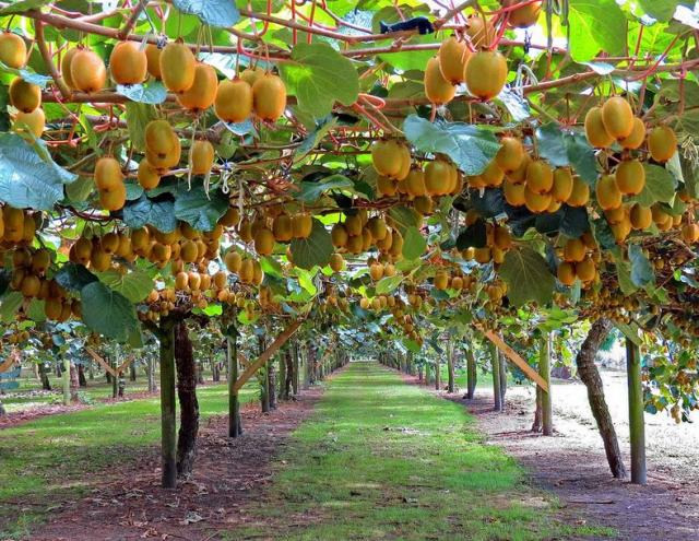 tree farm with full of riped kiwi fruits, Beautiful flower