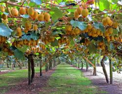 Kiwi tree farm with full of riped kiwi fruits