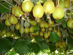 Kiwi tree with full of fury fruits