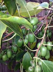 Kiwi tree with green kiwi fruits