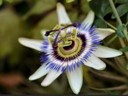 Exotic 10 Petal Flower with Colored Ring Center and Helicopter Blades Like Stamen.JPG