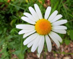 Large White Daisy Flower with Yellow-Orange Center.JPG