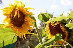 Pair of Large Sunflowers with Withering Petals.JPG