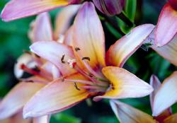 Light Pink Day Lily with Green Bug Visiting.JPG