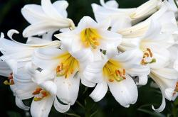 White Day Lilies with Orange Stamen.JPG