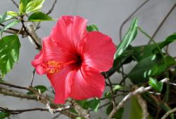 Bright Red Hibiscus Flower with Branches & Leaves in Background.JPG