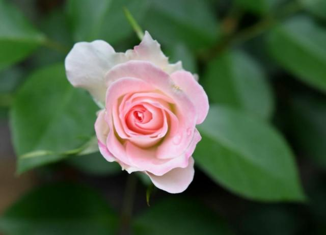 Small Light Pink Rose with Green Leaves in the Background.JPG